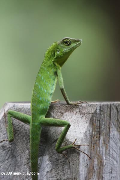 Green Tree Dragon Bronchocela Cristatella Chameleons Lizards