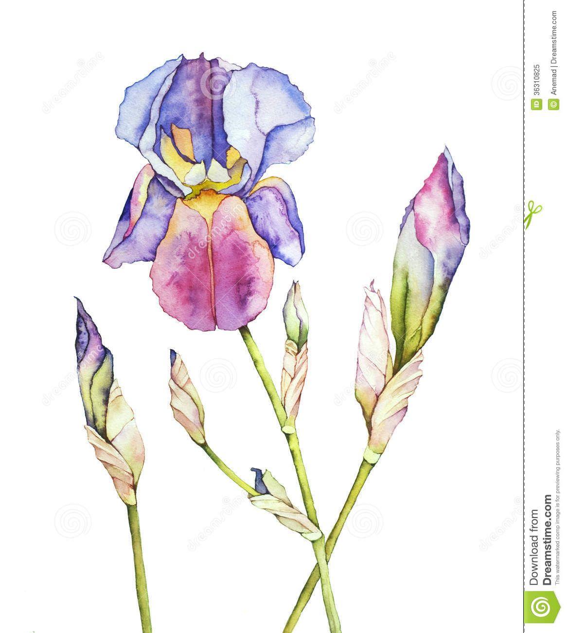 Watercolor iris white 36310825g 11661300 watercolor watercolor iris white 36310825g 11661300 iris tattooflower izmirmasajfo