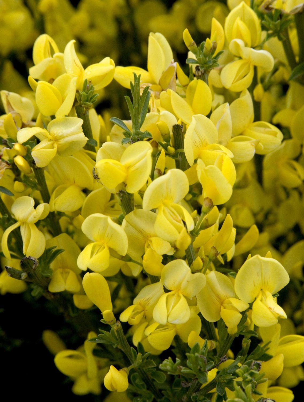 Allgold Broom Monrovia Allgold Broom Flowering Shrubs Plants Monrovia Plants