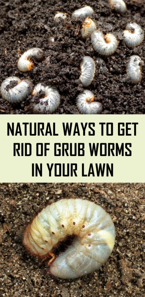Natural Ways To Get Rid Of Grub Worms In Your Lawn Grub Worms Garden Pests Home Vegetable Garden