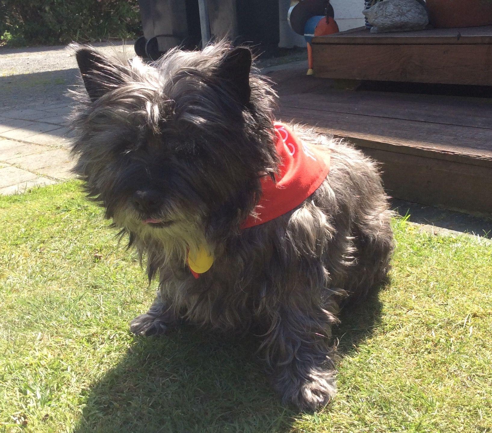 Bella Cairn Terrier Pawshake Christchurch