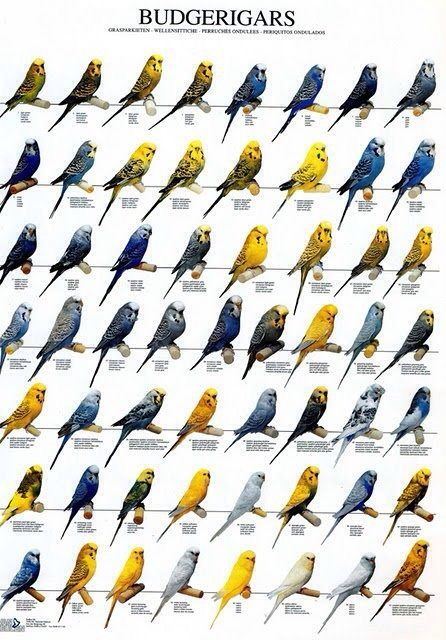 #Budgerigar Color Mutation Chart