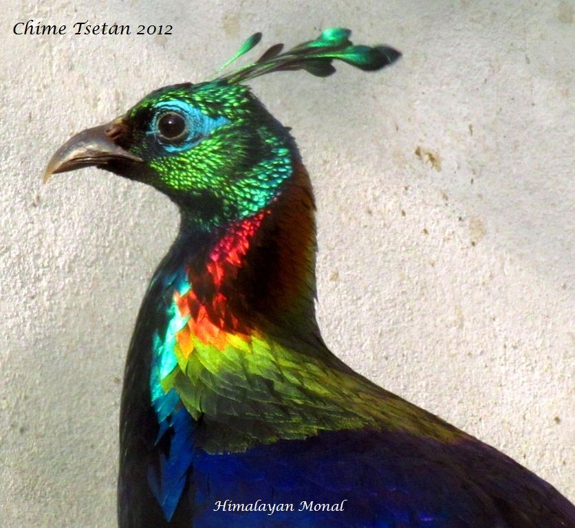 The Himalayan Monal, Lophophorus impejanus also known as ...