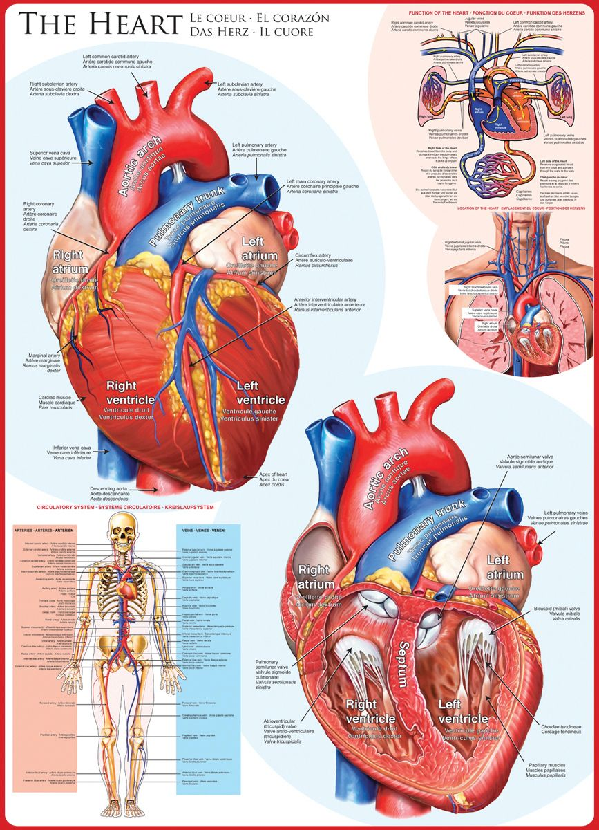 Human Body (The Heart) 1000-Piece Puzzle. The heart is the engine ...