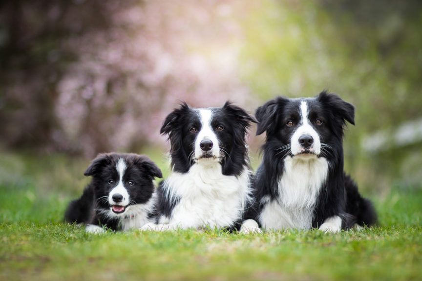 Pin By Rhonda On Cute Puppies Dog Breeds Border Collie Puppies
