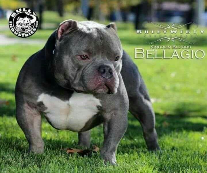 American Bully Pocket A Vendre Google Zoeken Bull Dog Stuff Bully Dog Bully Breeds Dogs