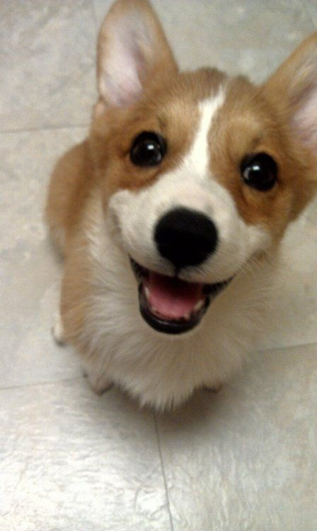Corgis Make Life Livable Like Cupcakes Except Fuzzy Not That Fuzzy Cupcakes Are Really A Good Thing But They Might B Baby Dogs Corgi Cute Corgi