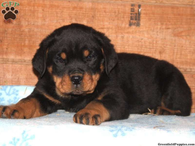 Raymond Rottie Puppy For Sale From Nottingham Pa Puppies
