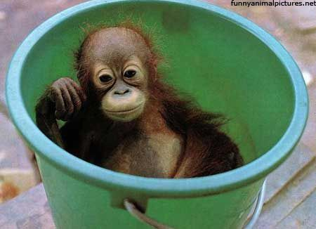 Monkey in a bucket