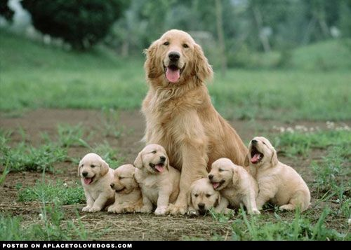 77 Proud Dog Mommies With Their Puppies Retriever Puppy Pets