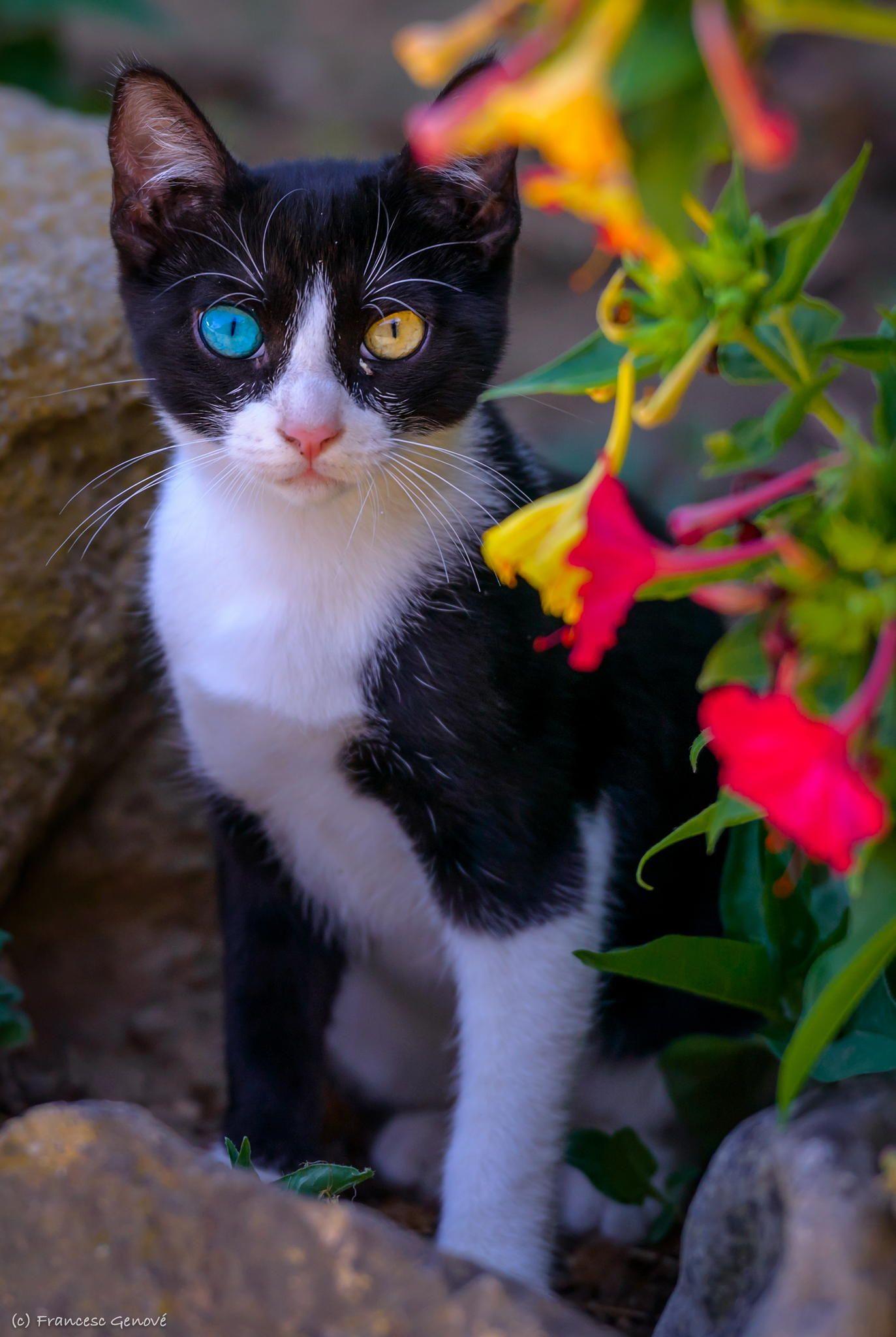 """Jim """"oddeyed"""" cat by Francesc Genové on 500px Cats"""
