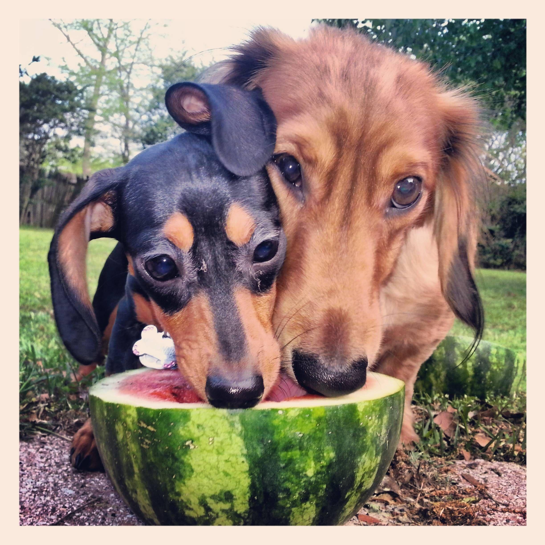 It's a Love Thing: Corgis + Watermelons! - The Daily Corgi  |Dogs Love Watermelon