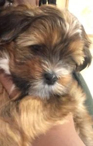Gorgeous Yorkie Maltese Puppy City Of Toronto Toronto Gta Image