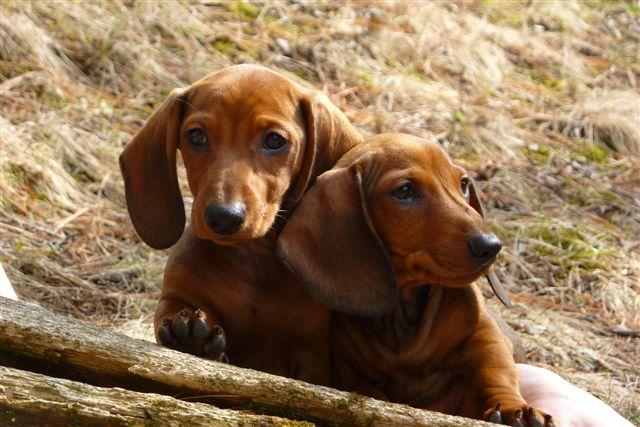 Together Dachshund Puppies Dachshund