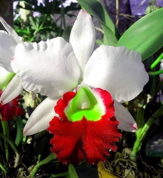 Orquídea qué extraña y hermosa flor
