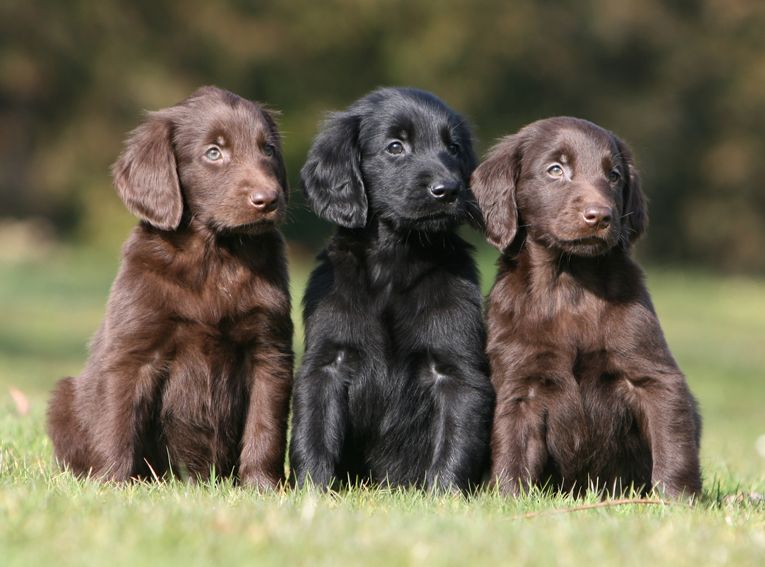 FlatCoated Retrievers...I think I found our next puppy