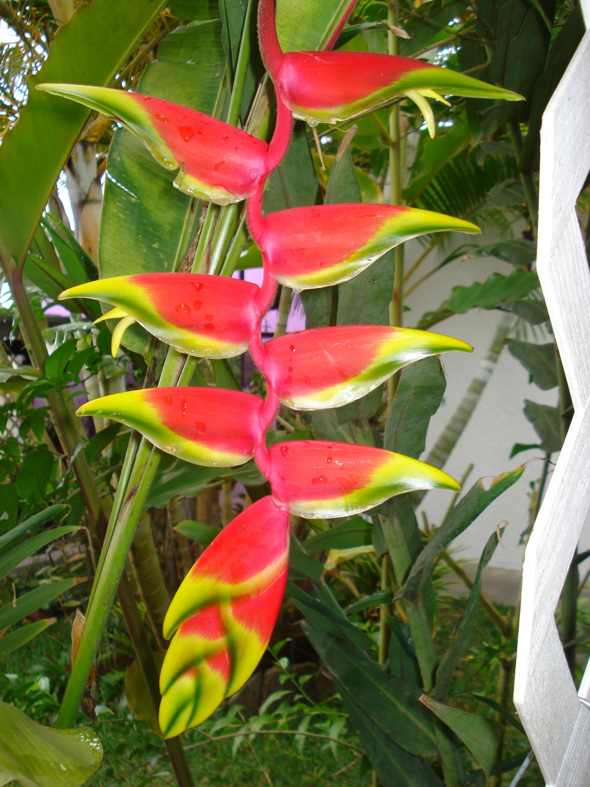 Heliconia Beautiful Flowers Heliconia Flowers