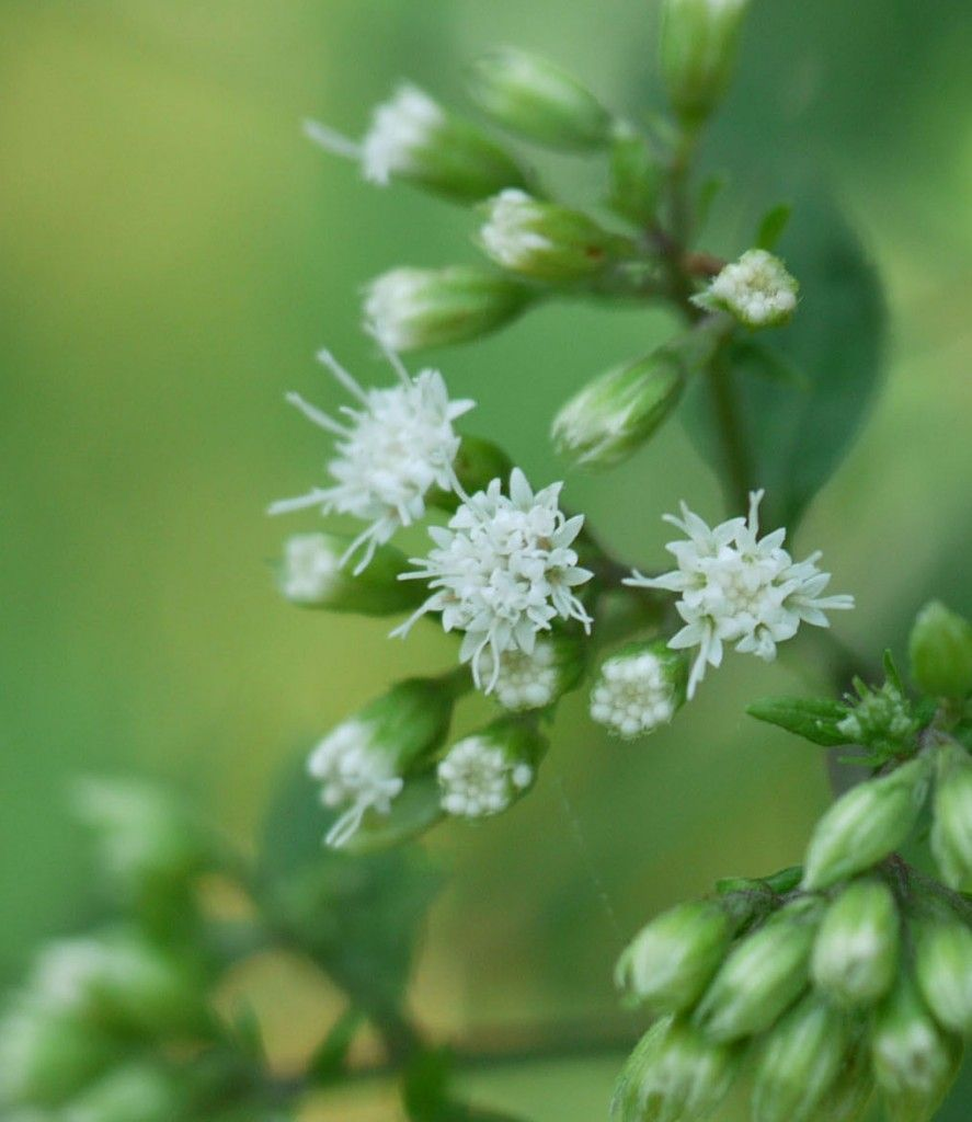 White Snakeroot Each Tiny Flower Grows In A Flower Head Like