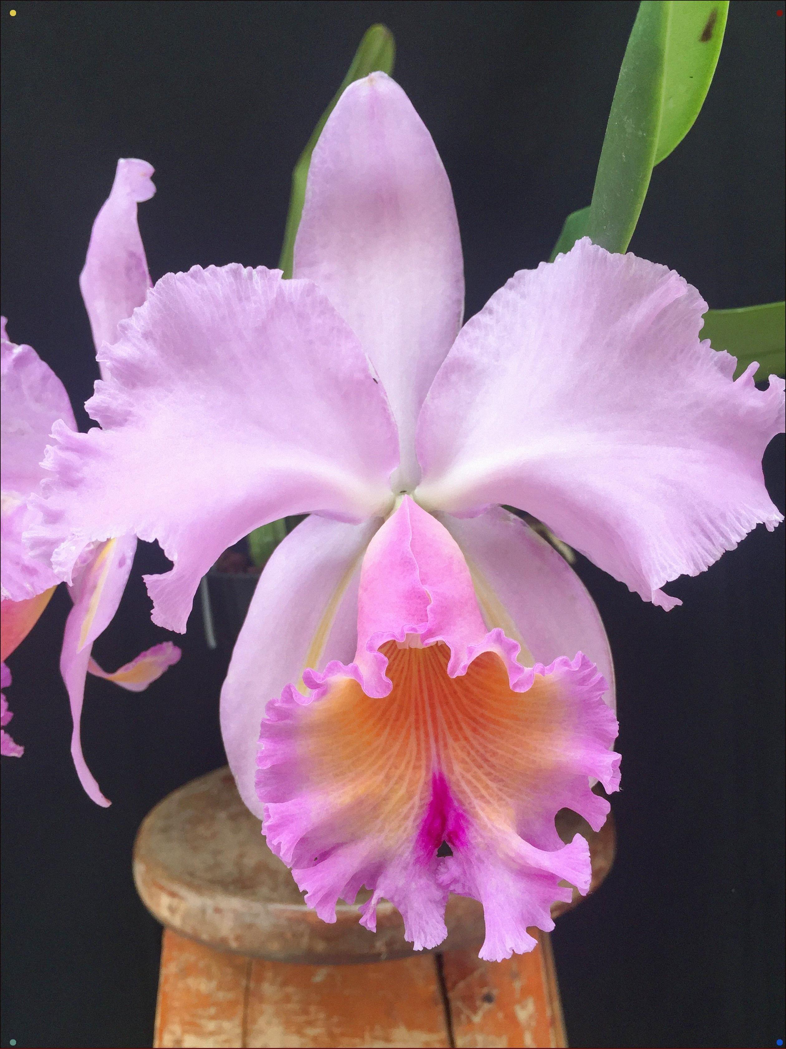 Orqudea Cattleya Hbrido Pink Orchid Flower Garden Flower Beds Cattleya Orchid