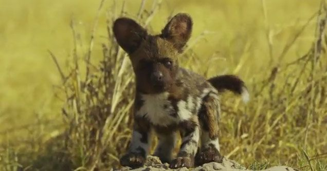 Robotic Spy Puppy Infiltrates a Pack of Wild Dogs | My Dog