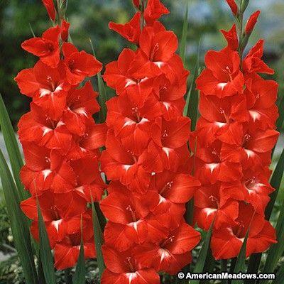 Traderhorn Gladiolus Gladiolus Flower Gladiolus Bulbs Gladiolus