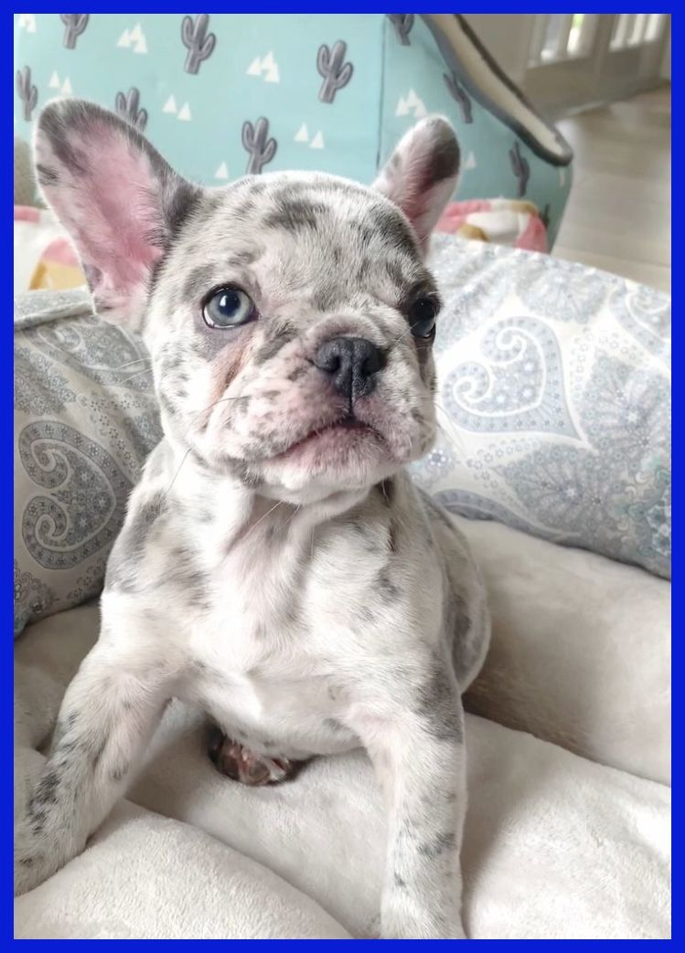 Some Of Our Readers Who Ain T Owners Of French Bulldogs Yet And