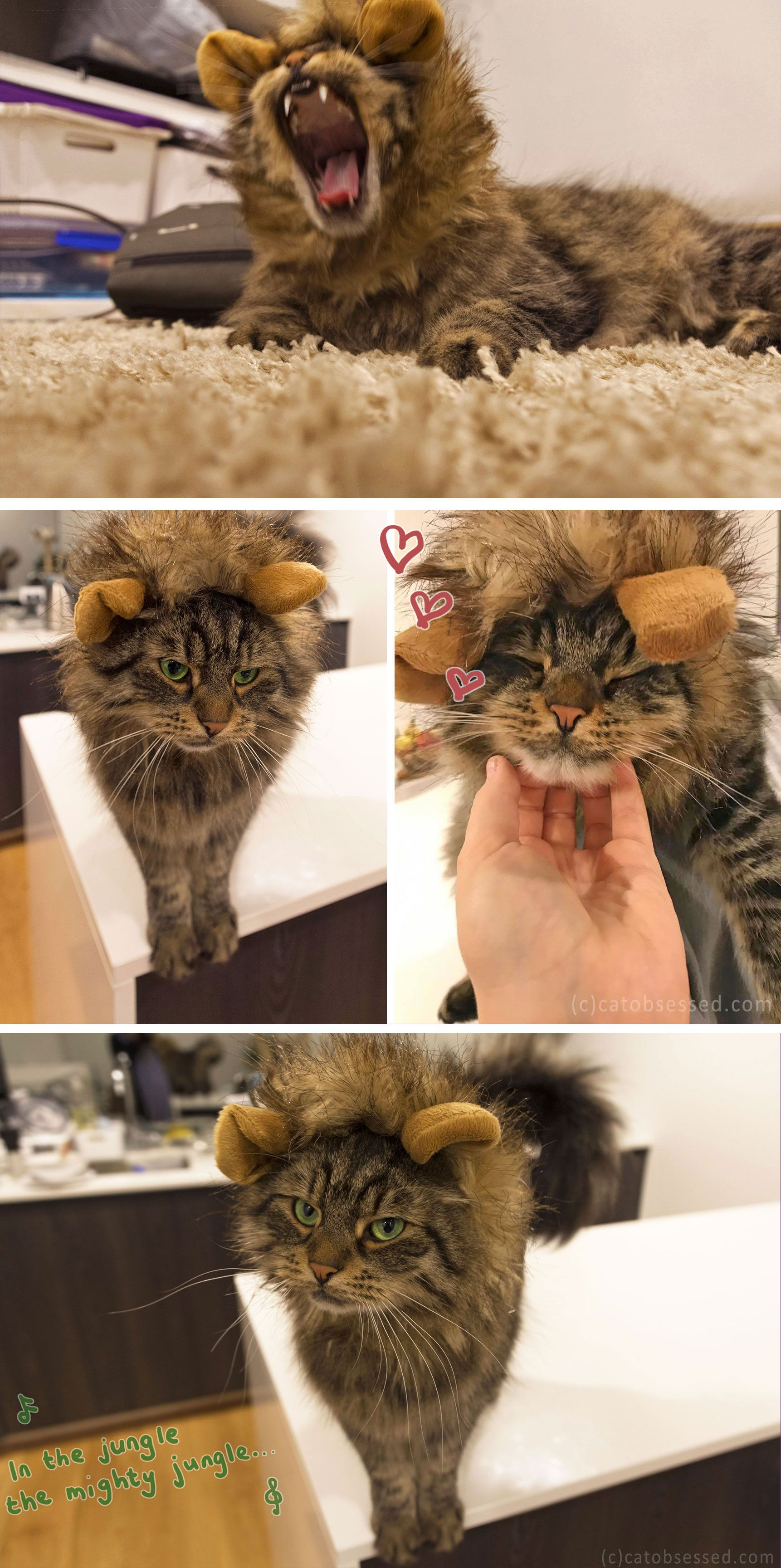 I dressed my cat up in a lion's mane!