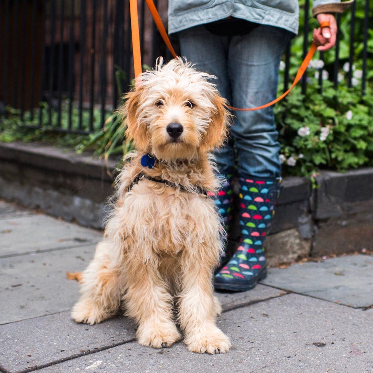 Puck Goldendoodle 5 M O Hicks Joralemon St Brooklyn Ny I M Just Walking Him But He S A Really Good Dog Who Loves Bir Goldendoodle Best Dogs Dogs