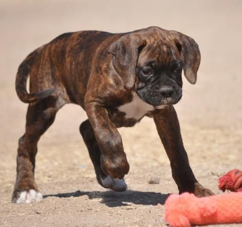 Akc Natural Boxers Tales Not Docked Boxers With Tails Boxers For Sale Akc Boxers For Sale Boxers For Sale Ship Dog Boxer Dogs