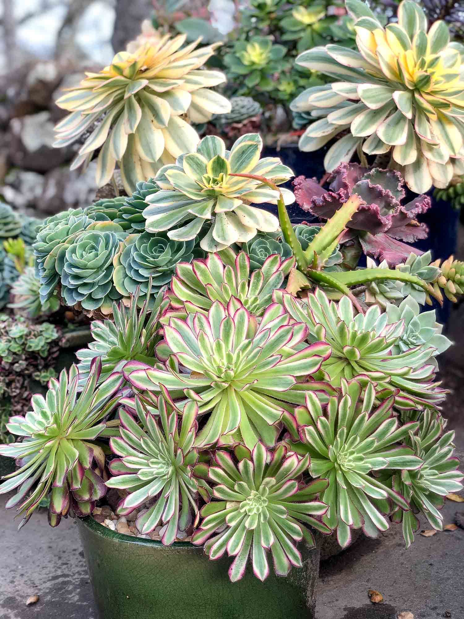 How to care for aeoniums mother plant succulents plants