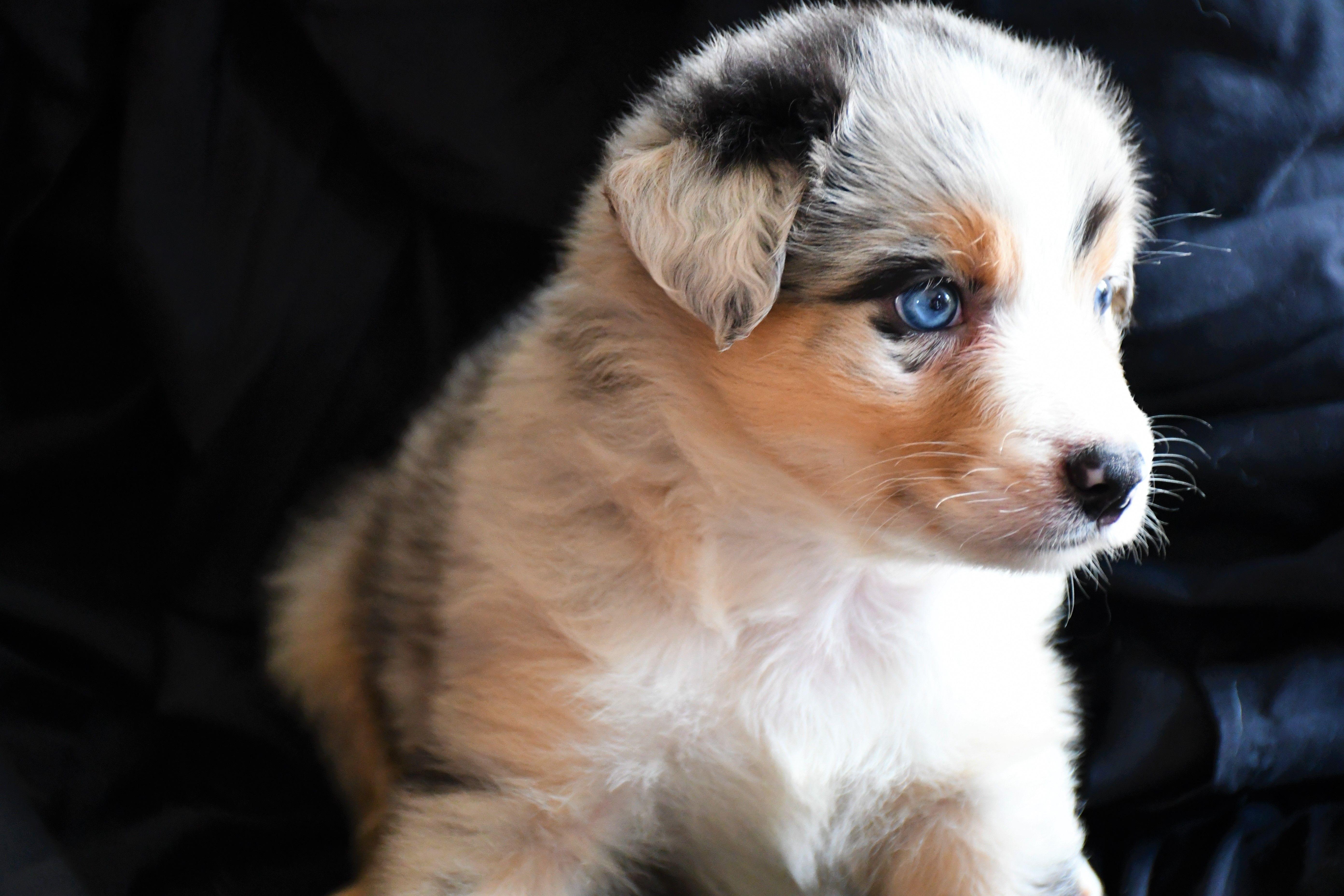 Yoda Champion Pedigree Akc Registered Australian Shepherd Puppy