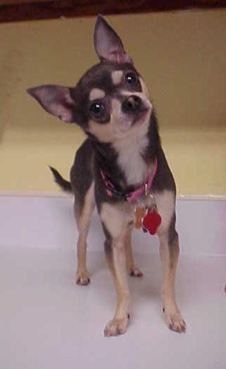 Adopt Twinkie Toes 6 Pounds On Cute Chihuahua Chihuahua I