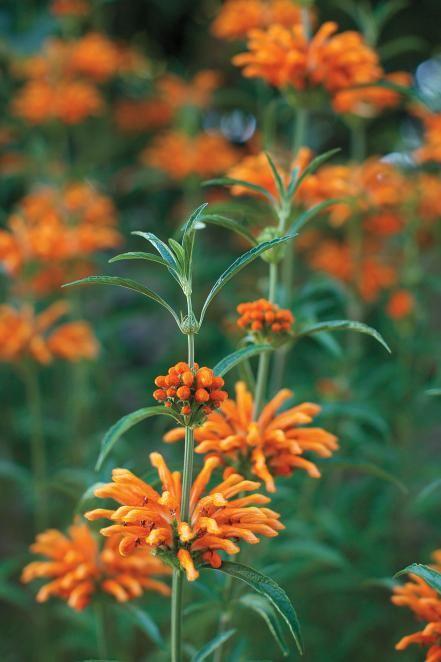 13 Easy Care Plants   Gardening   Pinterest   Perennials, Shrub and ...