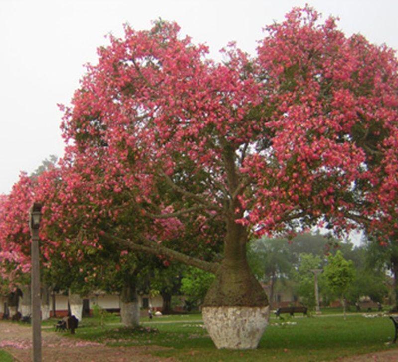 Toborochi tree toborochi tree is a different type shape tree which toborochi tree toborochi tree is a different type shape tree which can bloom the flowering treespink mightylinksfo