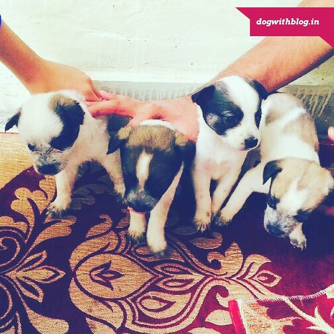 20 Day Old Pups Pom Desi Mix For Adoption In Delhi They Will Be