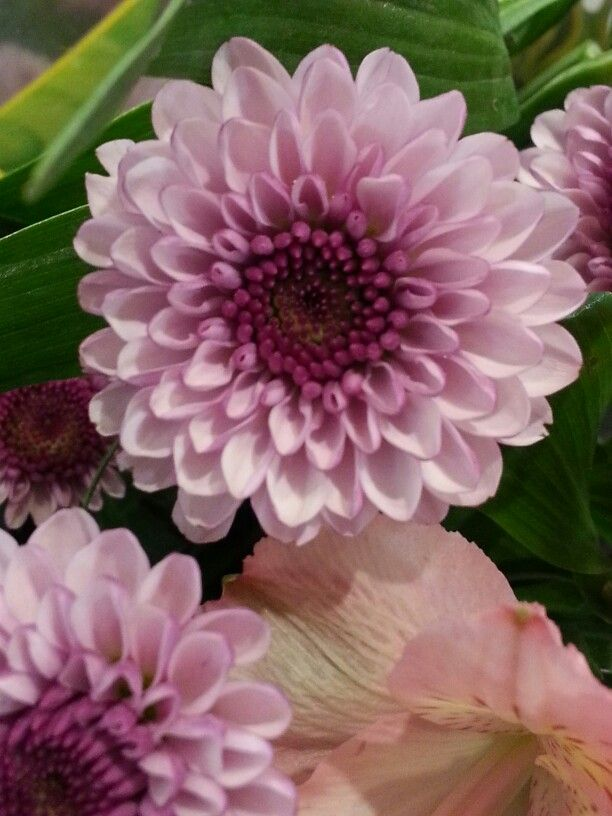 Red Violet Gradation In Small Chrysanthemum Flowers With Images Chrysanthemum Flower Flowers Chrysanthemum