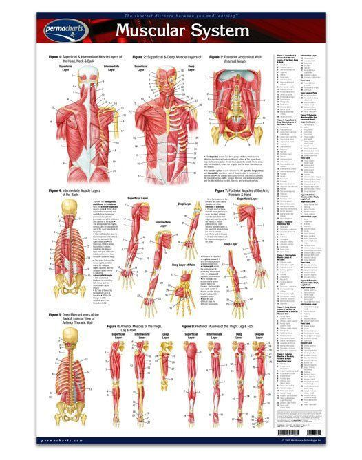 Muscular System - Anatomy Poster - 24\
