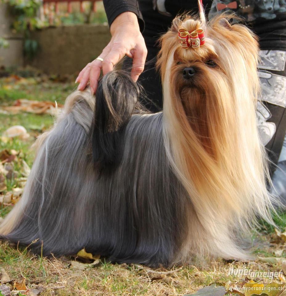 Yorkshire Terrier Pictures Yorkshire Terrier Welpen Reinrassig