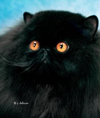 แมวเปอร เซ ย Solid Color Division ส ล วน ในป 2021 แมวเปอร เซ ย ส น ข แมว