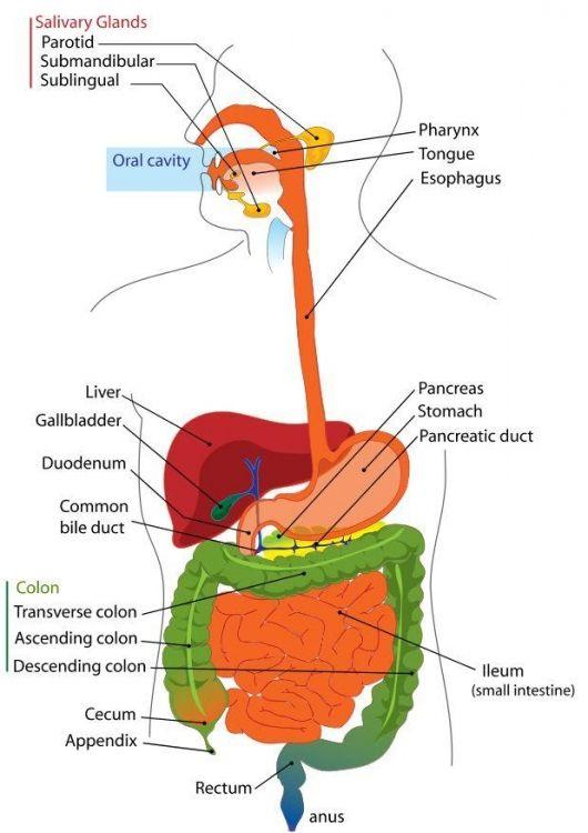 Digestive System Diagram ---For human biology lab test   Body Basics ...