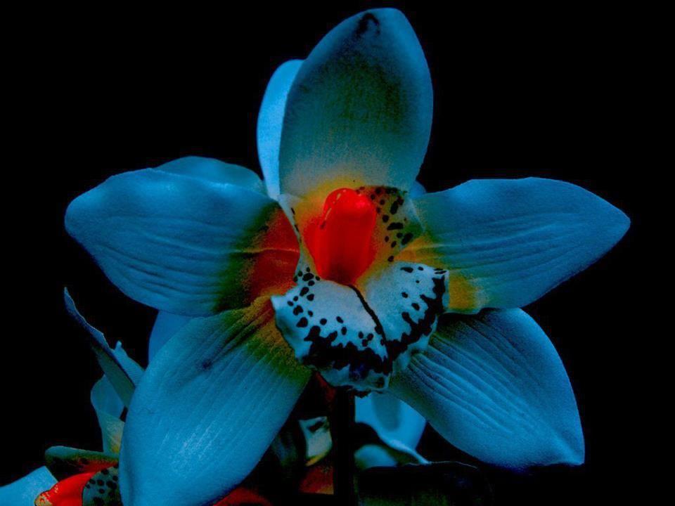 Orquidea Azul Orquidea Orchi