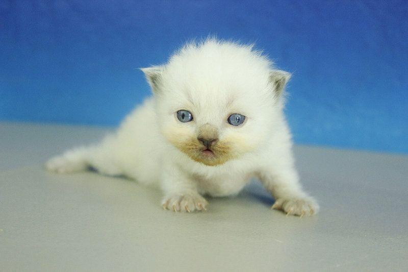 Dallas Blue Point Male Ragdoll Kitten Ragdoll Kitten Kittens Cutest Cute Cats