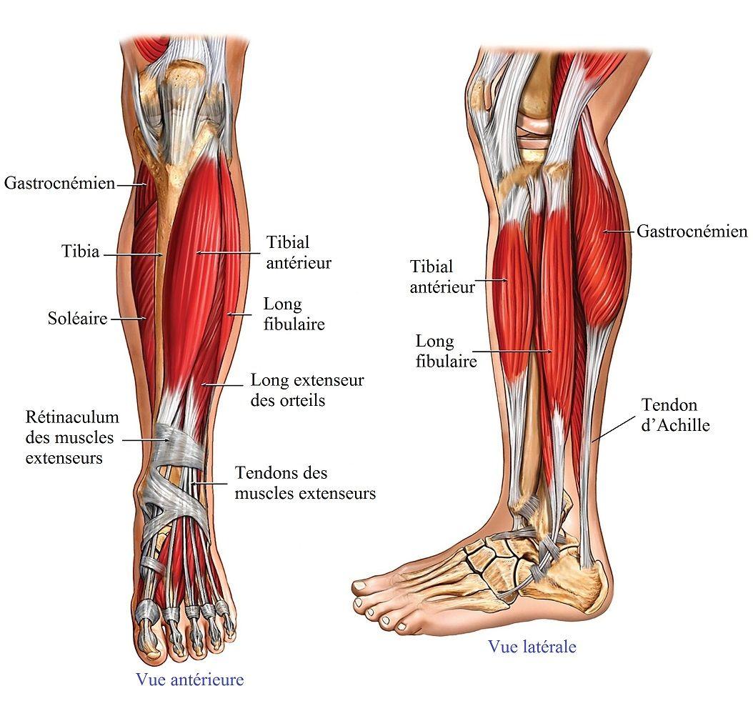 anatomie,jambe,muscles,tendons   Dessins   Pinterest   Muscles