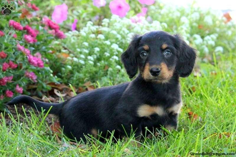 Tim Dachshund Puppy For Sale in Pennsylvania Dachshund