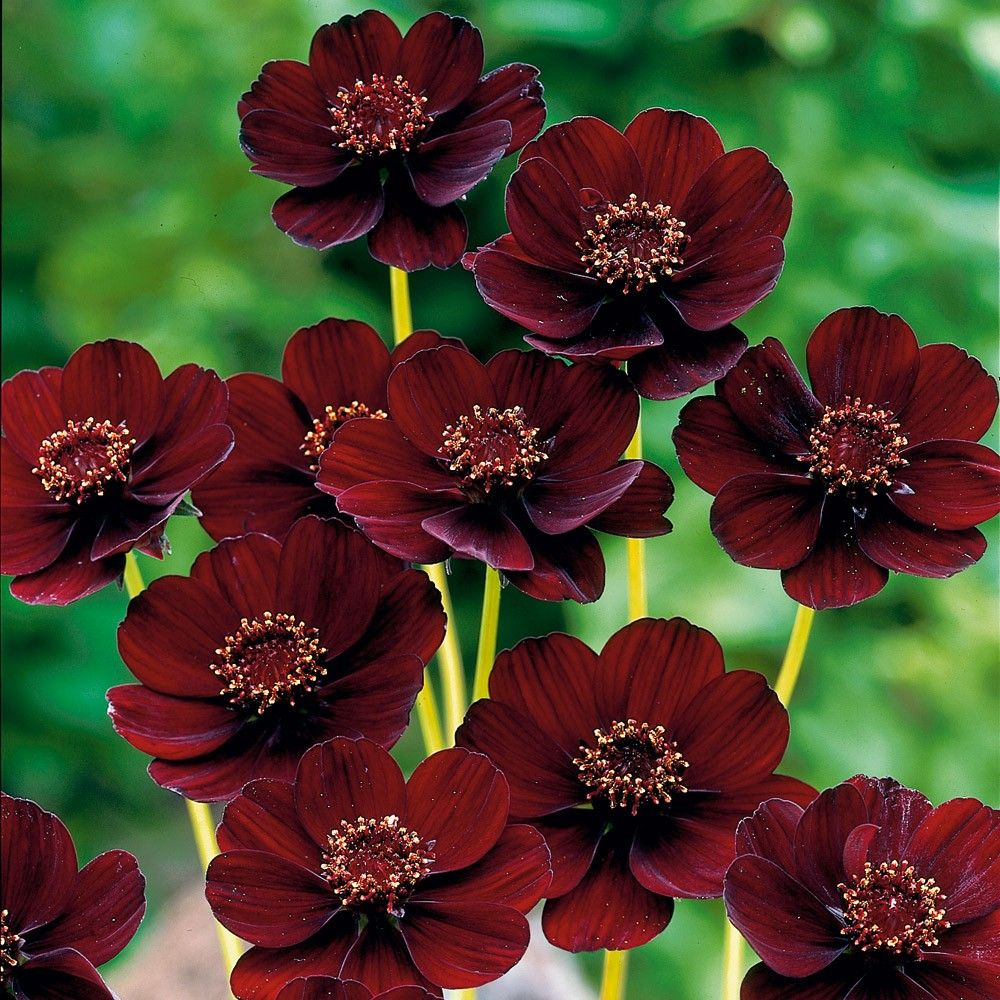 the Cosmos Chocolate Flowers Pinterest Cosmos Flowers and Plants