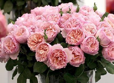 королевские розы семенами отзывы