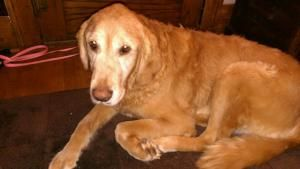 Adopt Murphy On Golden Retriever Rescue Dogs Golden Retriever Dogs