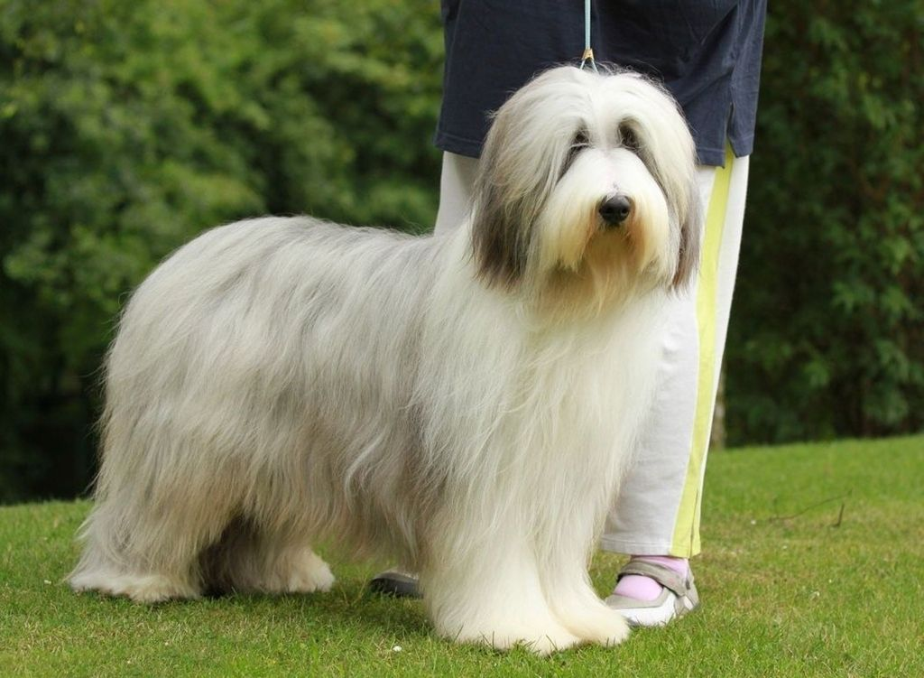 Why Is Collie Dog A Perfect Watchdog Bearded Collie Collie