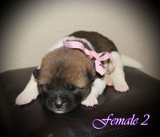 Purebred Akita Puppies For Sale Dogs Puppies For Sale