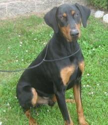 Adopt Zeus On Doberman Pinscher Dog Dogs Doberman